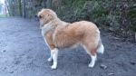 Berner Sennen/Pyrenéerhund